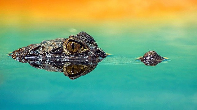 Image shows an alligators' eyes and nose peeking above still water