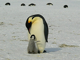 Image shows in the foreground an emperor penguin with a chick in front of it and five more penguins in the background